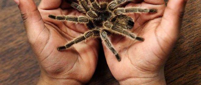 acheter une araignée de compagnie