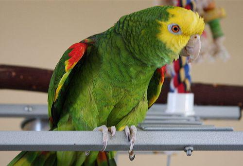 amazon perroquet