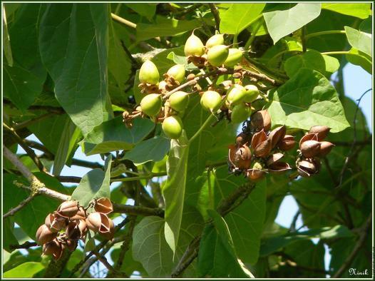 arbre a coque