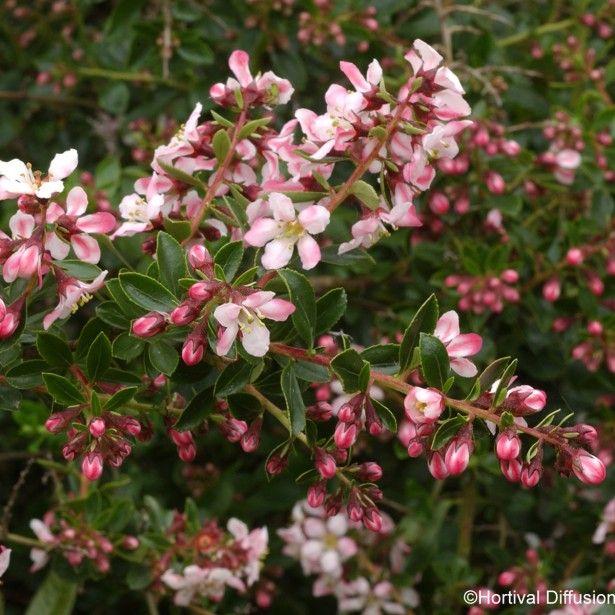 arbuste fleuri rose