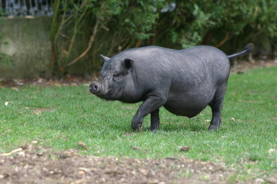dés cochon