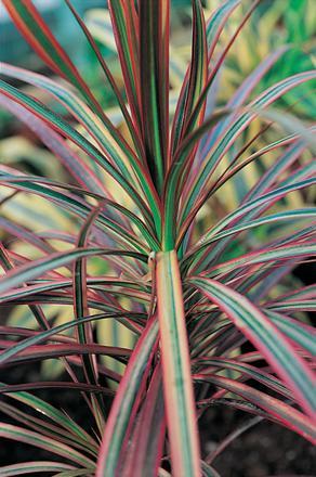 dragonnier plante