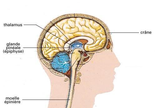 effet de la melatonine