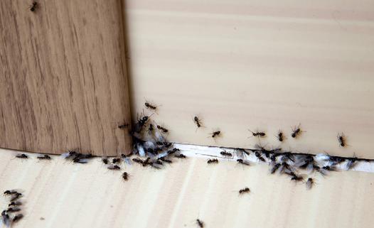 eliminer fourmis dans maison