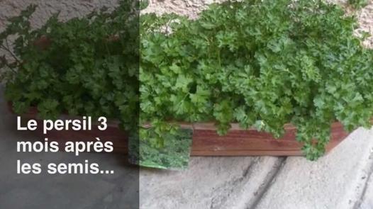 faire pousser du persil en pot