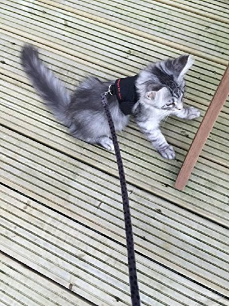 harnais chaton 3 mois