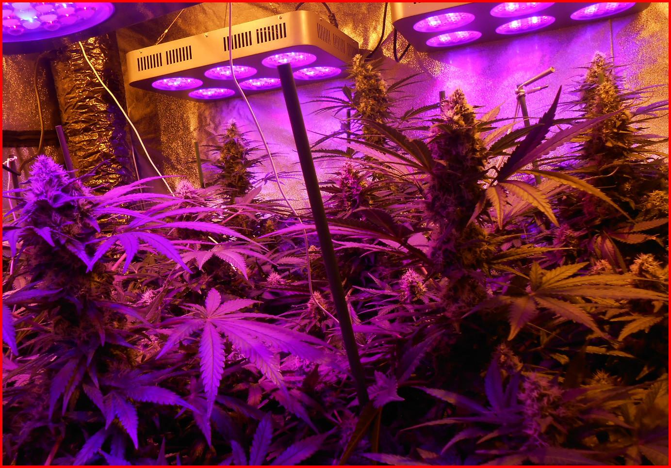 lampe led cannabis
