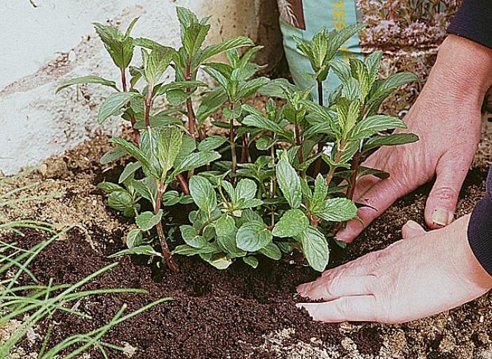 menthe planter