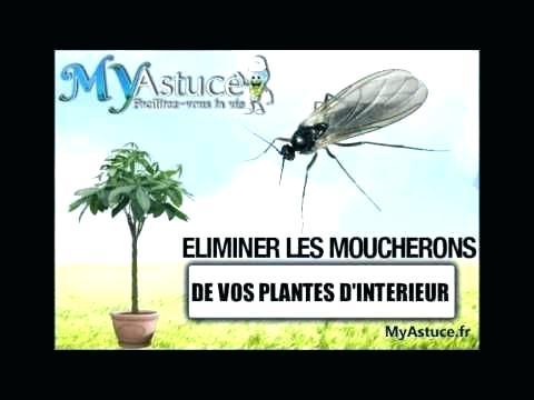 moucherons plante interieur