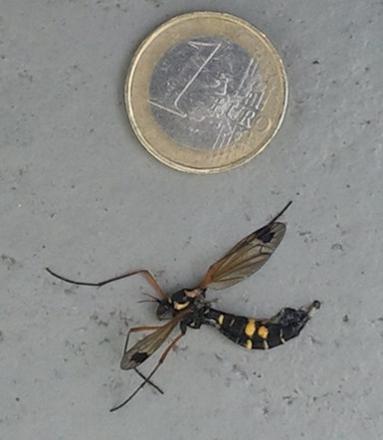 moustique noir et jaune