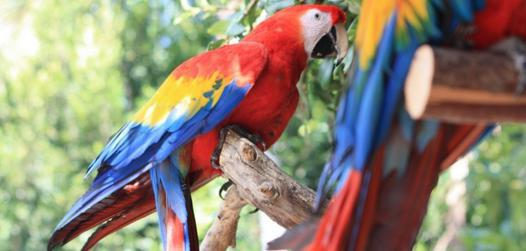 perroquet achat