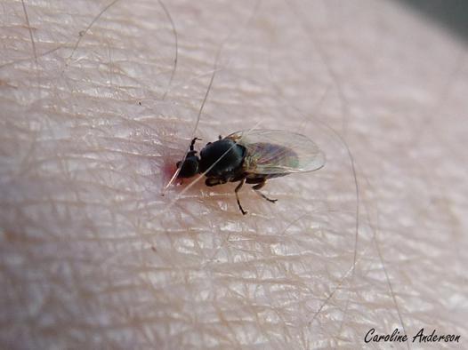 petites mouches qui piquent