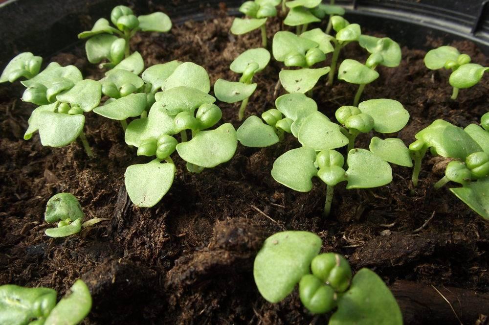 planter graine basilic