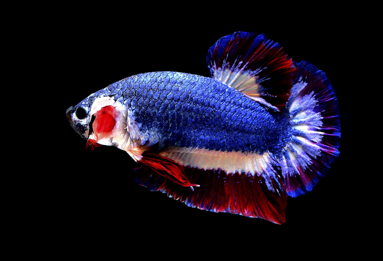 poisson bleu blanc rouge