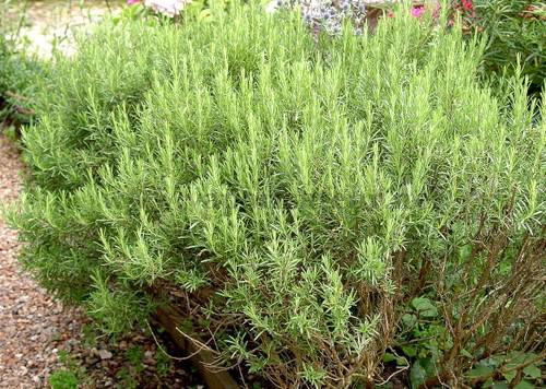 romarin plante médicinale