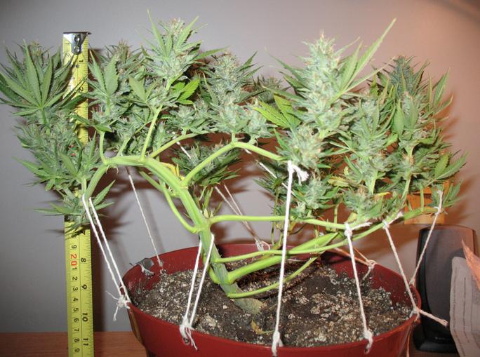 taille cannabis interieur