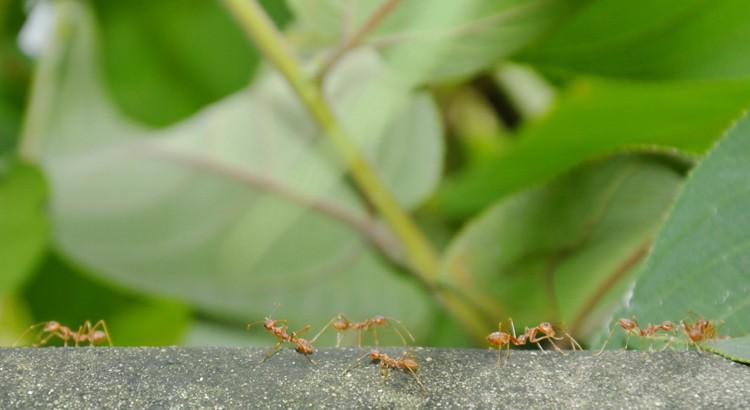 éliminer les fourmis dans le jardin